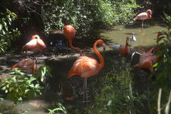 Group of pink flamingos at Jacksonville wild animal park Stock Photos