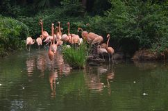 Pink flamingos in the lake stock photography