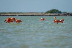 Group of pink flamingos in Las Coloradas in Mexico. Famous birdwatching spot in Yucatan peninsula in Mexico royalty free stock photos