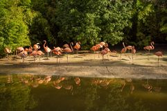 Pink flamingos flock Royalty Free Stock Photo