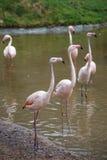 Group of pink flamingos Stock Image