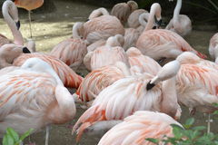 Group of Pink Flamingos Pond Stock Image