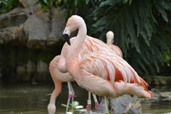 Group of Pink Flamingos Pond Royalty Free Stock Image