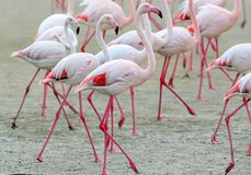 A group of pink flamingos on the sand close up Stock Photo
