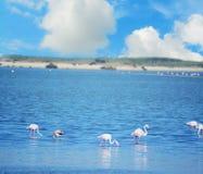 Group of pink flamingos in Sardinia Stock Image