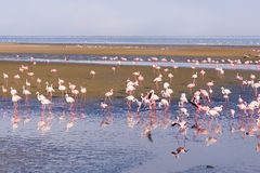 Group of pink flamingos on the sea Stock Photography