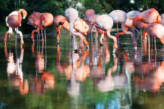 Group of pink flamingos Stock Photography