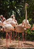 Group of pink flamingos. Royalty Free Stock Image