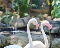 Pink flamingos in the natural habitat Royalty Free Stock Image