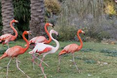 A group of pink flamingos walking Royalty Free Stock Photography