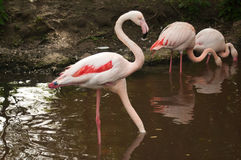Group of pink flamingos Stock Photo