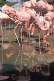 Group of Pink Flamingos in water, Sea World, San Diego, CA Royalty Free Stock Images