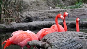 Flamingos, two different video shots in one file. Group of pink flamingos at the zoo. Argentina stock video