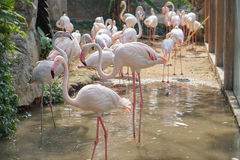Group of pink flamingos in the zoo Royalty Free Stock Photo