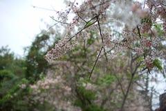 Group of pink flower sakura in japan before summer season so beautiful and fresh Royalty Free Stock Photos