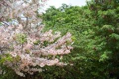 Group of pink flower sakura in japan before summer season so beautiful and fresh Royalty Free Stock Image