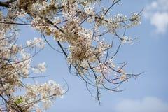 Group of pink flower sakura in japan before summer season so beautiful and fresh Royalty Free Stock Photography