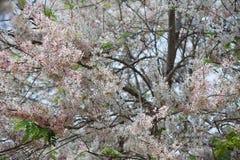 Group of pink flower sakura in japan before summer season so beautiful and fresh Royalty Free Stock Images