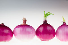 Group pink onion on a white background. Several shiny onion peeled. Royalty Free Stock Image