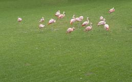 Group of pink orange flamingo on the green grass, copy space. Group of pink orange flamingo on the lush green grass, copy space Royalty Free Stock Image