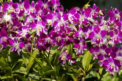 The group of pink orchid. background of pink orchid flowers Stock Photography
