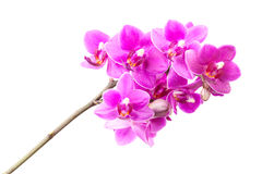Group of pink orchid flowers isolated on white Royalty Free Stock Photo