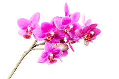 Group of pink orchid flowers isolated on white Royalty Free Stock Image