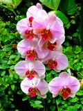 Group of pink orchids. Beautiful group of pink orchids Stock Photography