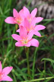A Group of Pink Rain Lily Flower, Zephyranthes Flower in Garden. Royalty Free Stock Image