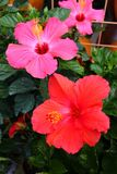 Group of Pink and Red Tropical Hibiscus Flowers royalty free stock photos