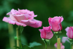 Group of pink roses in garden. Stock Photography