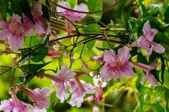 Group of Pink trumpet vine blossoms,  Podranea ricasoliana, Gran Canaria, Spain Stock Image