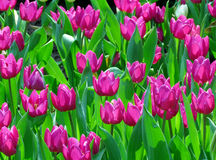 Group of Pink Tulip with green leaf Stock Photos