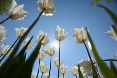 Group of pink tulips in the park agains blue sky Royalty Free Stock Images