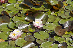 Group of pink water lilies Royalty Free Stock Photos