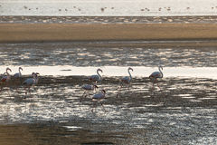 Group of pink and white flamingoes at Atlantic Ocean shallows. A group of pink and white flamingoes is moving along Atlantic Ocean shallows at Walvis Bay of Stock Images