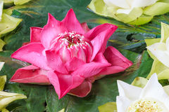 Group of pink and white lotus blossoms in the sink. Group of pink and beautiful white lotus blossoms in the sink Stock Photos