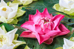 Group of pink and white lotus blossoms in the sink. Royalty Free Stock Photo