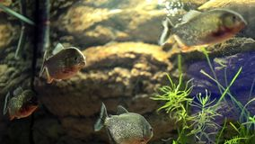 Group Of Piranha Fish. Video clip of tank with piranha fish stock video footage