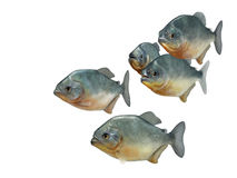 Group of piranhas Stock Photo