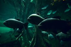 Group of piranhas in water royalty free stock image