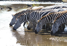 Group of Plains zebras at watering near the big river in the ear Royalty Free Stock Images