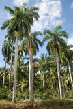 Group of plam trees. Group of tropical plam trees stock photography