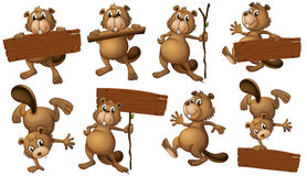 A group of playful beavers with empty signboards Stock Images