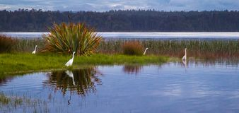 Plumed Egret. Group of Plumed Egrets Foraging Along Shoreline of Kaniere Lake, West Coast, South Island, New Zealand Royalty Free Stock Photo
