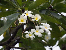 A group of plumeria flowers on the tree in Thailand, focus on th Stock Photography