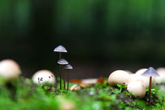 A group of poisonous mushrooms in the forest Royalty Free Stock Photography
