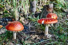 A group of poisonous mushrooms. Growing in a forest Royalty Free Stock Image