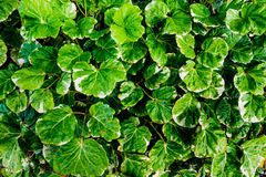 Group of polyscias. Group of green and white color polyscias guilfoylei baill var, selective focus Royalty Free Stock Image
