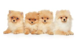 Group of Pomeranian Spitz puppies royalty free stock photography